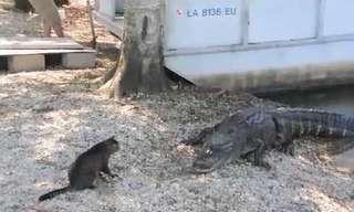 קרב בביצה בין חתול ותנין