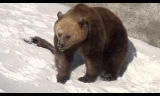 דובים מתעוררים משנת חורף - חמוד!