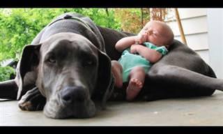 מי יותר מתוק, כלב ענק או תינוק? צפו בסרטון וגלו את התשובה