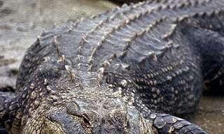 מה ההבדל בין תנין לקרוקודיל?