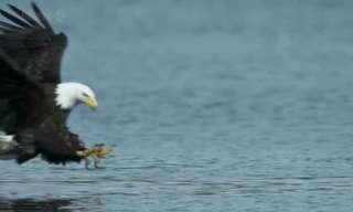 נשר צד דג בצילום הילוך איטי מדהים!!