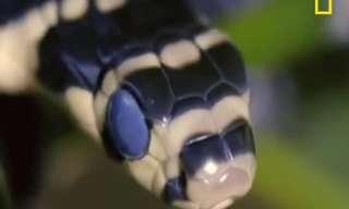 נחש הקוברה מלכותית - ציד מהרגע הראשון