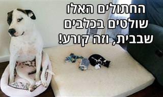 סדרות תמונות מצחיקות של חתולים שמציקים לכלבים