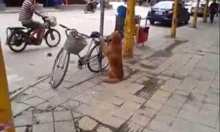כלב חכם שומר על אופניים - מדהים!