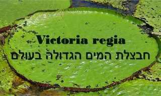 ויקטוריה - החבצלת המלכותית בעולם