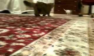 צ'יוואווה מתגרה בחתול - קורע!