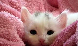 אלרגי לחתול? זה לא בגלל הפרווה: 8 מיתוסים
