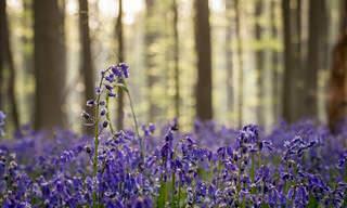 יער הלברוס - מסע קסום במרבדים הכחולים בבלגיה