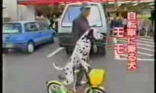 כלב שרוכב על אופניים כבר ראיתם??