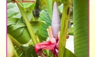 פירות והפרחים שלהם - מקסים ומעניין!