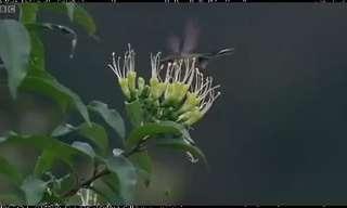 יונק הדבש מהאנדים הפרואנים