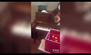 חתול נכנס לפאניקה כשמנסה לרדת מפסנתר