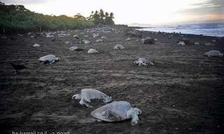 מדוע צבי הים נכחדים?