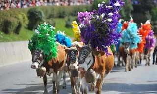פסטיבל שיבת הפרות של טירול