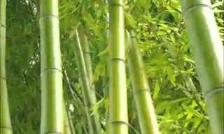 משל צמיחת הבמבוק הסיני