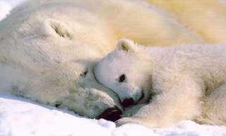 דובי הקוטב השורדים בתנאים קשים