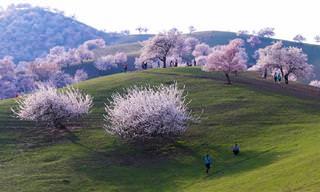 תמונות מרהיבות של הפריחה בעמק המשמשים
