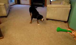 כלב נגד וובוזלה - הכלב מנצח!