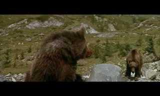 הפומה וגור הדובים
