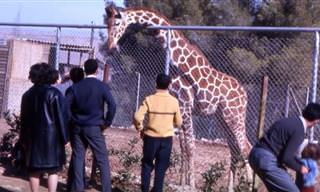 """תיעוד בתמונות וזיכרונות מימיו הראשונים של גן החיות התנכ""""י"""