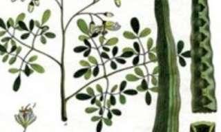 המורינגה - צמח העל לטיפול בסוכרת!