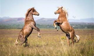 18 תמונות של סוסים אציליים על רקע הנוף עוצר הנשימה של איסלנד הפראית