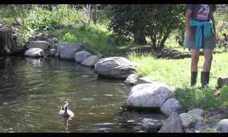 ברווזי מכלאות שוחים בפעם הראשונה!