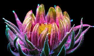צילומי פרחים באור אולטרה סגול של הצלם קרייג בורווס