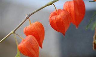 8 היתרונות הבריאותיים של צמח הגולדן ברי