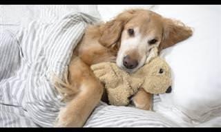 הכלב החמוד הזה הולך לישון ממש כמו ילד, וזה פשוט מקסים! 🐕