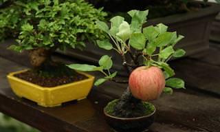 מדריך לגידול עצי בונסאי המניבים פרי