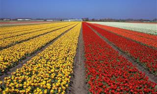 הכירו את קוקנהוף, גינת הפרחים של אירופה כולה