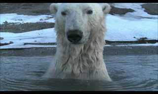 איך מרגלים אחרי דובי קוטב - מצחיק!