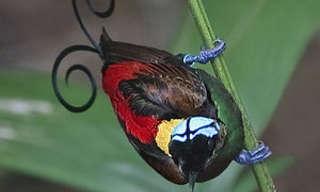 ציפורי גן עדן - ציפורים מעולם אחר!