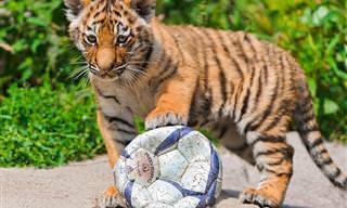 שחקן חיזוק מפתיע בטורניר הכדורגל של ממלכת החיות...
