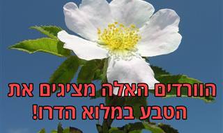15 זני ורדים מיוחדים וציטוטים שיכניסו יופי ורוגע לחייכם