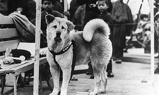 סיפורו המרגש של האצ'יקו, הכלב הנאמן בעולם