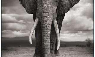 תמונות מהממות של בעלי חיים באפריקההתמונות המהממות האלה הן פרי עבודתו של הצלם ניק ברנדט, שלקח את צילום החיות החופשיות של אפריקה צעד אחד קדימה.תאווה לעיניים!
