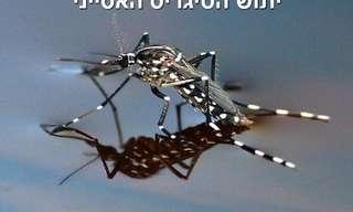 יתוש הטיגריס האסייני - כללי זהירות חשובים!