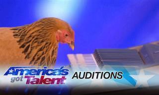 תרנגולת שיודעת לנגן על פסנתר עם המקור שלה