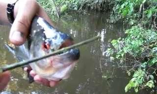 דגי הפיראניה מהאמזונס