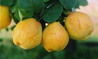 8 תועלות נפלאות מאכילת פרי החבוש, ומתכון בונוס!