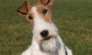 8 גזעי כלבים מיוחדים שלא הכרתם עד היום