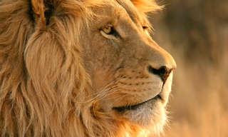 כוכבת הקולנוע שחיה עם אריה