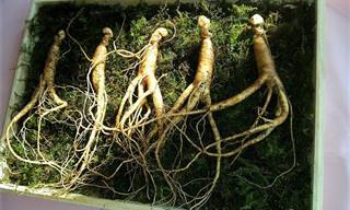 """10 יתרונות בריאותיים של צמח הג'ינסנג """"מרפא הכל"""""""