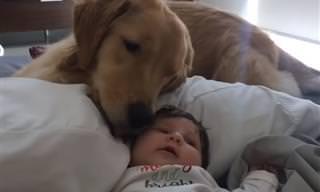 כלבת גולדן רטריבר מקסימה מרגיעה תינוקת