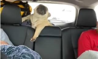 """הבולדוג המייבב: הכלב הזה """"הרס"""" למשפחתו את הנסיעה מצחוק"""