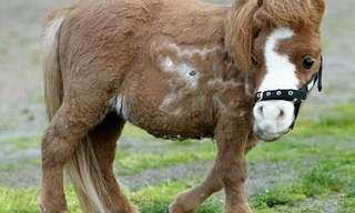 קודה - הסוס הגמדי