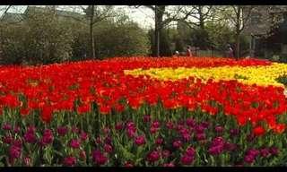מריחים את האביב באוויר - פריחת הצבעוני!