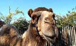 ירושת הגמלים - סיפור עם מוסר השכל